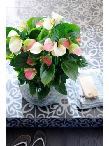 Φυτό ανθούριο σε λευκή απόχρωση